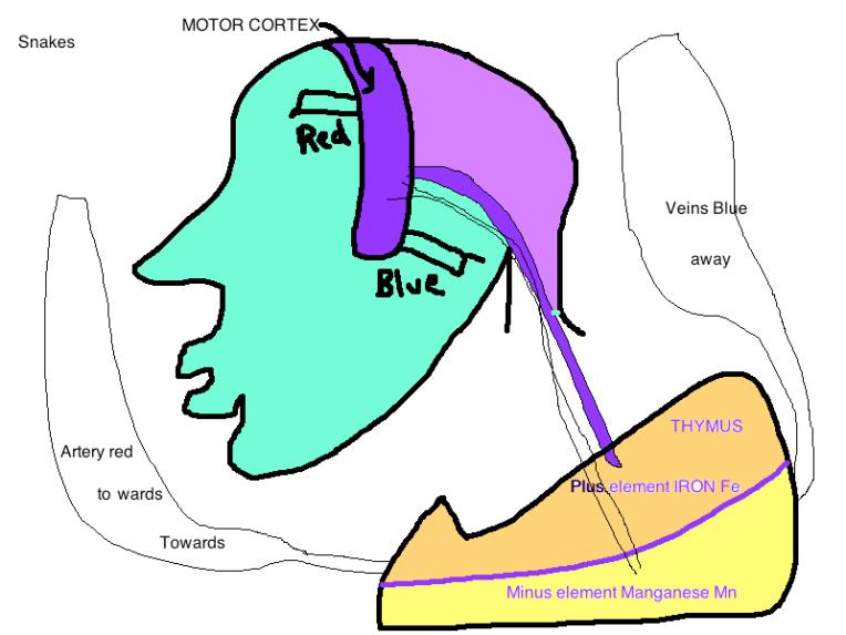 motor cortex thymus gland