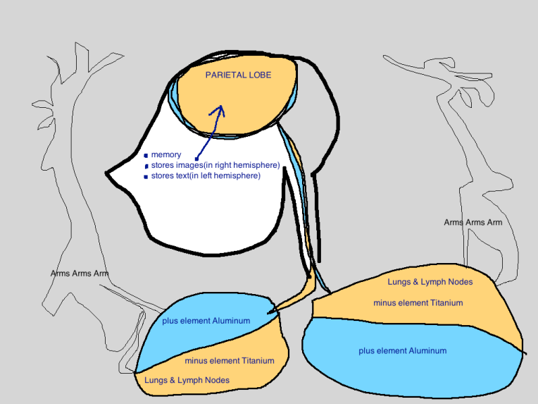 parietal lobe lungs lymph nodes memory arms